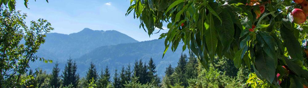 Aussicht von den Nektarinen auf die karnischen Alpen Ferienhaus Waldhof Kärnten