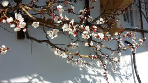Aprikosenblüte im Waldhof in Kärnten
