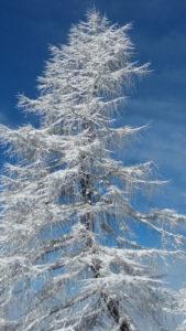 Lerche im Winterkleid am Nassfeld