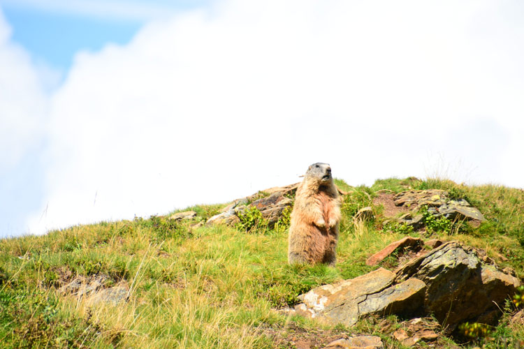 The marmot Nassfeld