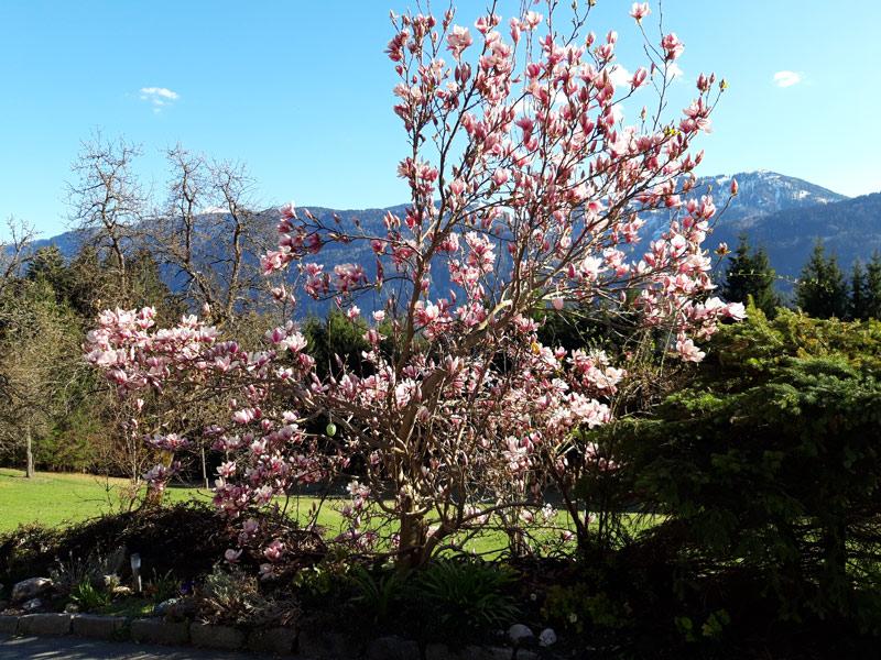 Magnolienbaum an der Hofzufahrt zum Ferienhaus Waldhof in Kärnten Österreich.