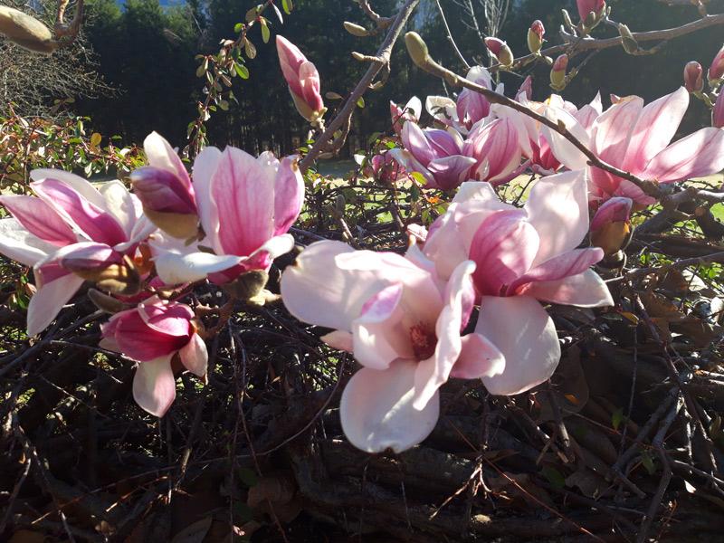 Magnolienblüte im Ferienhaus Waldhof Hermagor Kärnten Österreich.