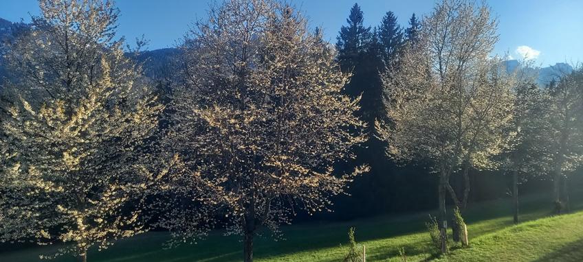 cherry blossom at the Waldhof